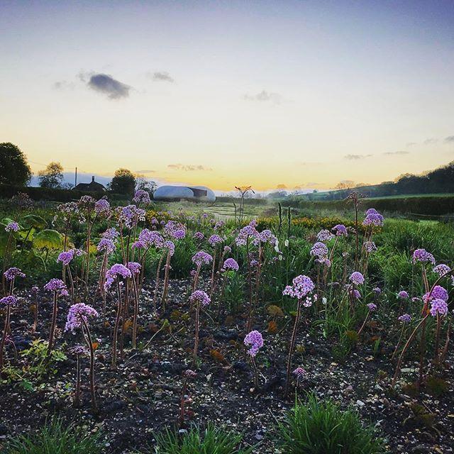 Darmera Peltata in the Oudolf Field at sunrise this morning @hauserwirth #hauserwirthsomerset #hauserwirth #gardenphotography #gardenphotographer #pietoudolf #oudolffield #darmerapeltata #dursladefarm #sunrise #somerset