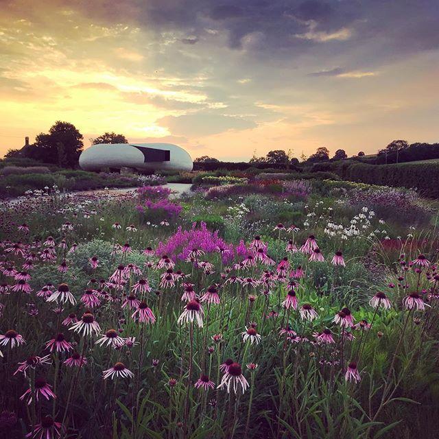 Echinacea in full flower in the Oudolf Field at Durslade Farm @dursladefarmhouse @hauserwirth @pietoudolf #oudolffield #hauserwirthsomerset #dursladefarm #gardenphotography #gardenphotographer #echinacea #sunrise