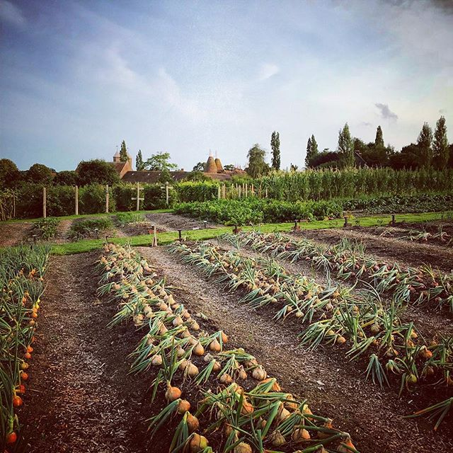 Rows of perfect onions in the  Vegetable Garden at Sissinghurst #sissinghurst #vegetablegarden #onions #gardenphotography #gardenphotographer #sissinghurstcastlegarden #sissinghurstcastle