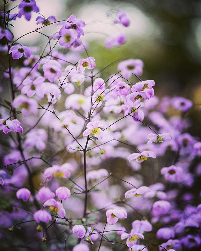 Thalictrum 'splendide' shot at Bury Court. Early bird tickets are available for my Garden Photography course on 2nd July 2019 with @gardenmasterclass in association with @gardens_illustrated https://www.tickettailor.com/events/gardenmasterclass/217471 #thalictrumsplendide #thalictrum #gardenmasterclass #gardensillustrated #gardenphotography #gardenphotographer #christmasforphotographers #burycourt #plantphotography #plantphotographer