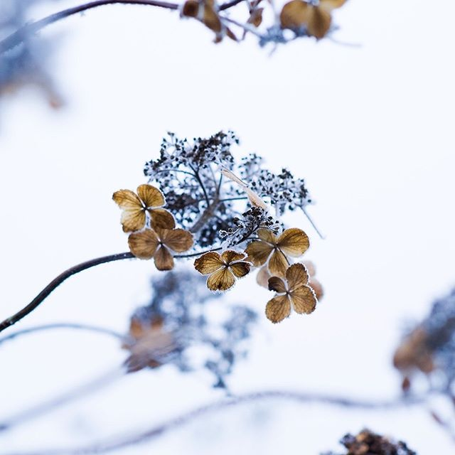 Hydrangea flower heads, winter skeletons #hydrangeas #hydrangeaskeleton #gardenphotography #gardenphotographer #plantphotography #winter #winterflora