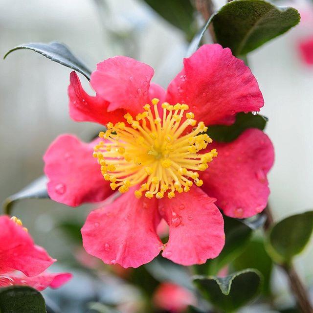 Camellia x vernalis 'Yuletide' #winter #camellia #camelliayuletide #gardenphotography #gardenphotographer