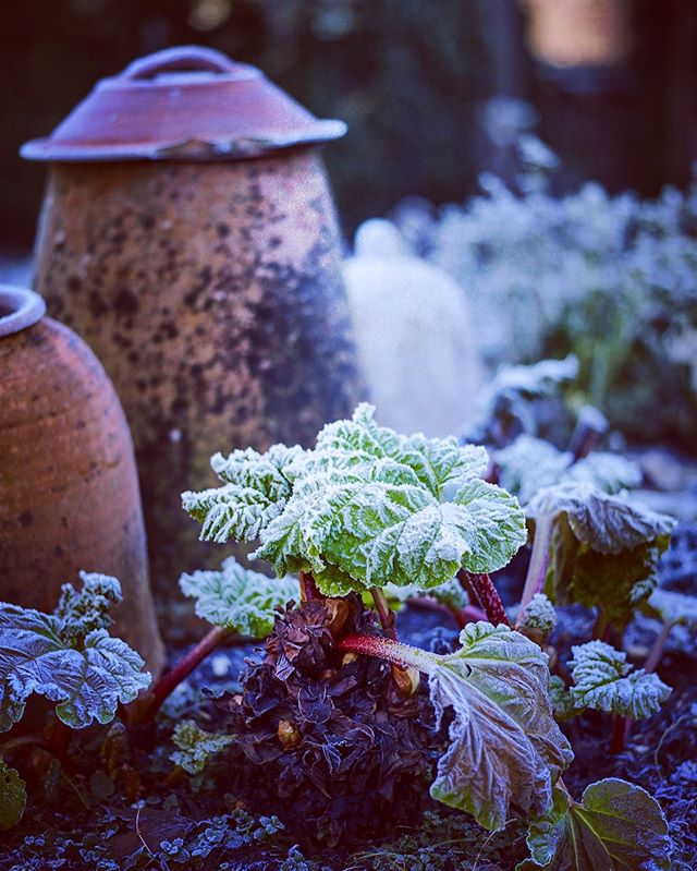 Frost covered Rhubarb and forcing pots #frost #rhubarb #gardenphotographer #gardenphotography #winter #forcingpots #jasoningram #jasoningramphotography