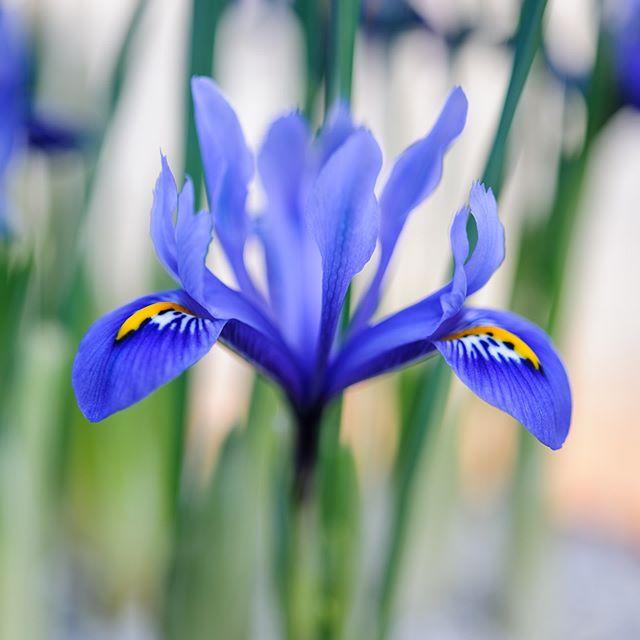 Iris reticulata 'Harmony' #irisreticulataharmony #irisreticulata #gardenphotography #gardenphotographer #plantphotography #plantphotographer