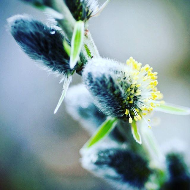 salix kinuyanagi #salixkinuyanagi #salix #willows #catkins #gardenphotography #gardenphotographer #plantphotography #plantphotographer