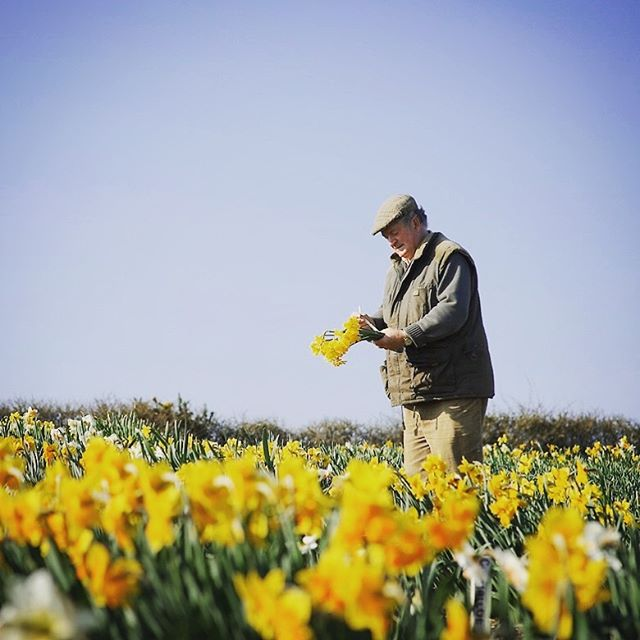 The great Ron Scamp in his Daffodil Fields #scampsdaffodils #ronscamp #qualitydaffodils #cornwall #narcissus #flowerpicking #spring