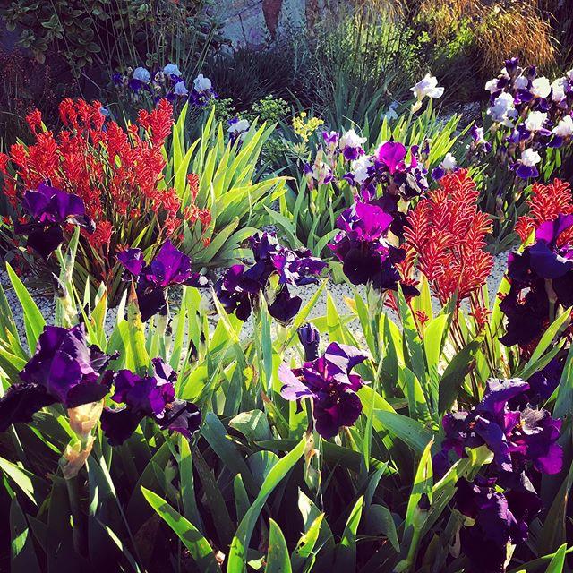 Anigozanthos (kangaroo paw) and Irises in the early morning light #sttropez #lacotedazur #anigozanthos #kangaroopaw #iris #irises #gardenphotography #gardenphotographer #france #plantphotography #ulfnordfjell