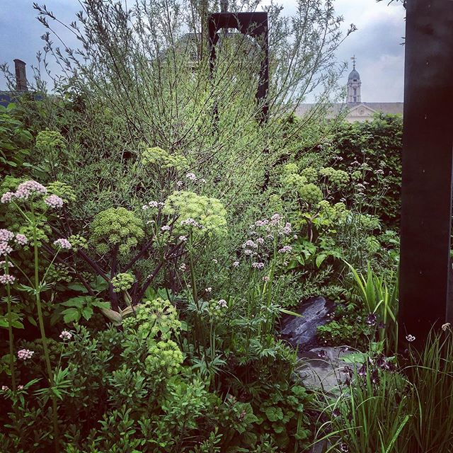 Beautiful Angelica archangelica on the Paul Hervey-Brookes The Art of Viking Garden @rhs_chelseaflowershow #rhschelsea #rhschelsea2019 #chelseaflowershow2019 #angelica #angelicaarchangelica #paulherveybrookes #jekkamcvicar #gardenphotography #gardenphotographer