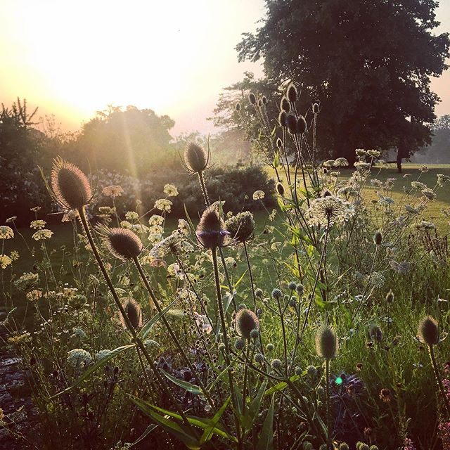 Daucus carota (Wild Carrot) and Dipsacus fullonum (Teasel) at first light @malverleys_garden #Dipsacusfullonum #daucuscarota #wildcarrot #teasel #gardenphotography #gardenphotographer #firstlight #sunrise #malverleys