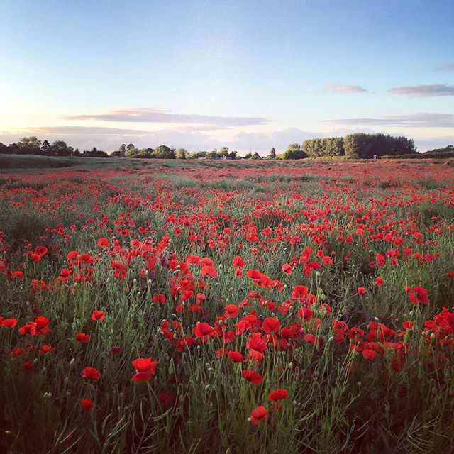 Field of Poppies #poppies #gardenphotography #gardenphotographer #oxfordshire