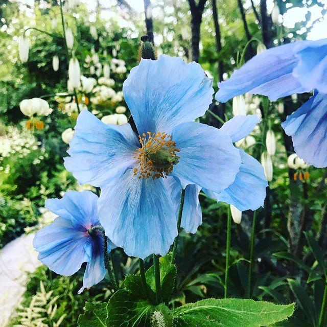 Himalayan Blue Poppy Meconopsis betonicifolia #Meconopsisbetonicifolia #sweden #gardenphotography #gardenphotographer #plantphotography #plantphotographer #ulfnordfjell #himilayanbluepoppy