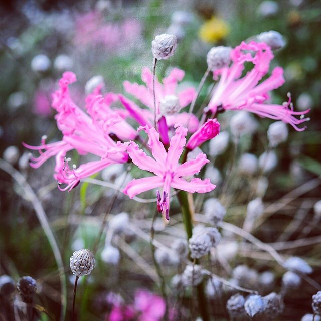 Nerines are looking fabulous at the moment #gardenphotography #gardenphotographer #nerine #nerines #autumnbulb #bulb #octoberplants #pinkbulbs #nikon #nikonphotography