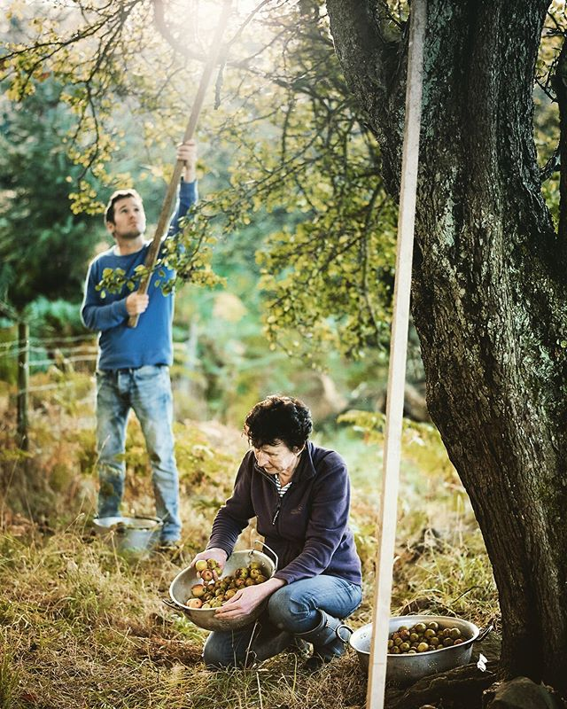 Harvesting crab apples with @rosebudpreserves #locationphotography #locationphotographer #crabapples #preserves #crabapplejam #rosebudpreserves #yorkshire #tasteofyorkshire #phaseonephoto
