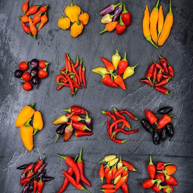 Chillies for Taste Trial #gardeningwhich #chillies #gardenphotography #gardenphotographer #foodphotography #foodphotographer #whichgardening #whichgardeningmagazine