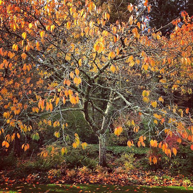 Prunus Tai-haku looking splendid @rhsrosemoor #prunustaihaku #rhsrosemoor #rhs #gardenphotography #gardenphotographer #autumn #autumncolour