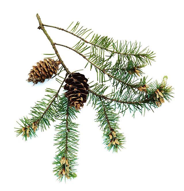 A simple sprig of Pseudotsuga menziesii (Douglas Fir) #christmas #christmassprig #sprig #gardenphotography #gardenphotographer #douglasfir #pseudotsugamenziesii #botanicalphotography #botanicalphoto