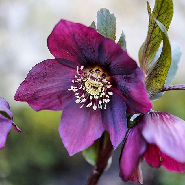 Deep rich colours of Helleborus × hybridus 'Queen of Spades #hellebore #helleborus #helleborusxhybridus #gardenphotography #gardenphotographer #gardenphoto #plantphotography #plantphotographer