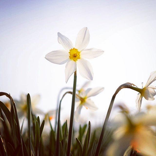 Narcissus 'Lucifer' #gardenphotography #narcissus #daffodils #narcissuslucifer #spring #springbulbs #nikon #nikonphotography #nikonphoto #gardenphotographer #plantphotographer #plantphotography