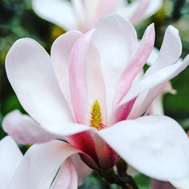 The beautiful Magnolia sprengeri Diva   #MagnoliasprengeriDiva #magnolia #spring #gardenphotography #gardenphotographer #nikonphotography #nikon #nikonphoto #nikonphotographer