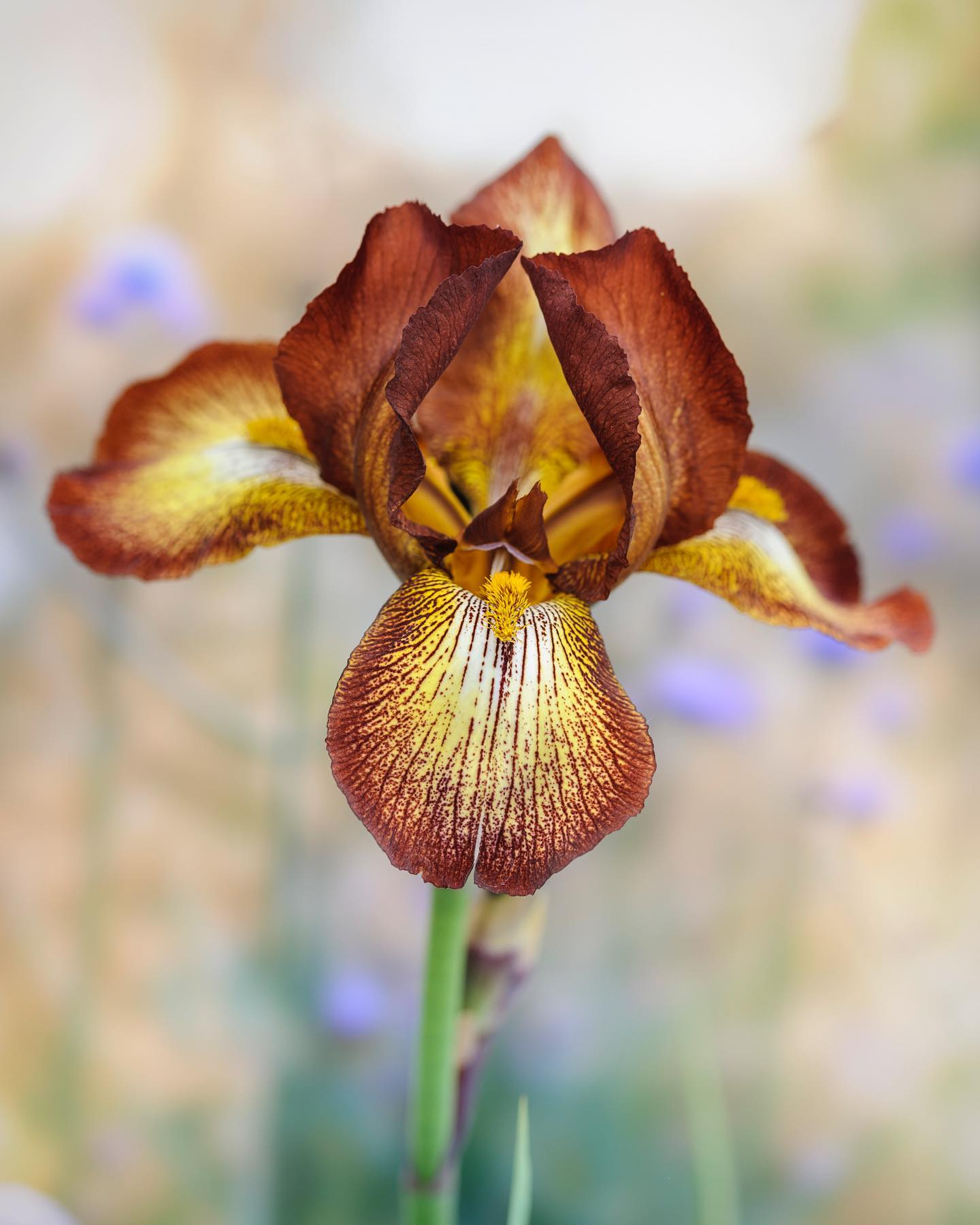 Iris 'Kent Pride' having its moment in the garden today. This is one from my good friends and wonderful local nursery @middlecombenursery #middlecombenursery #gardenphotography #gardenphotographer #iris #beardediris #iriskentpride #nikonphotography #nikon #nikonphoto